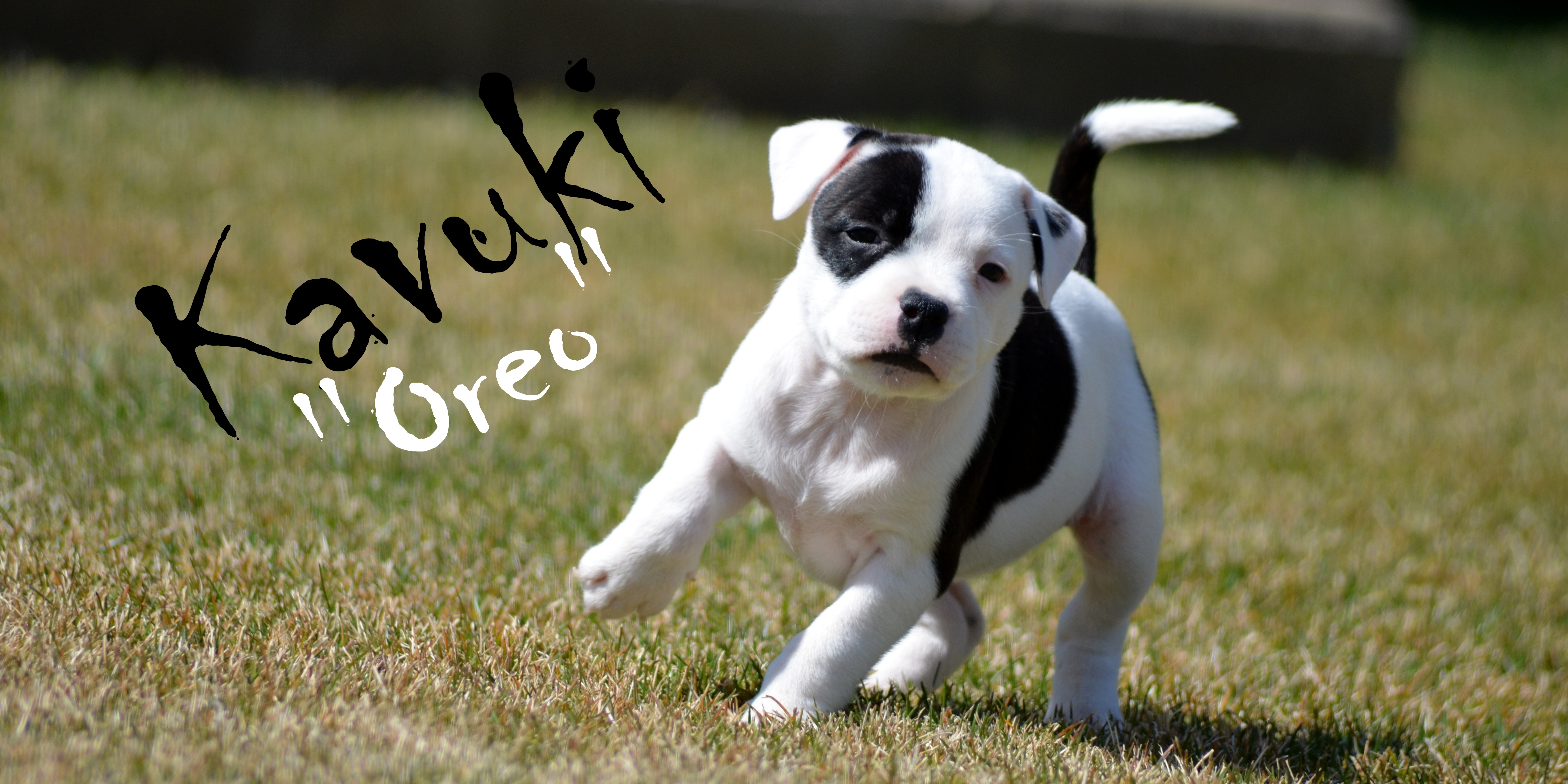 Kavuki Staffordshire bull Terriers South African Breeder